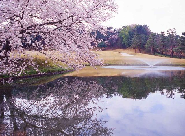画像: 春には樹齢50年以上の桜が満開になる