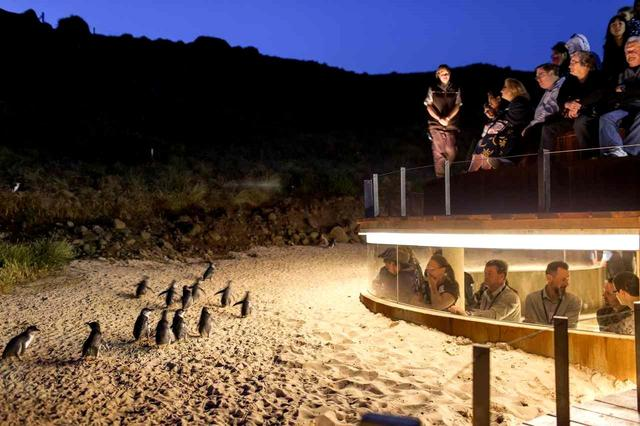 画像: 世界一小さなペンギンの行列。オプショナル観光で!