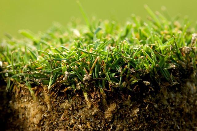 画像: 洋芝に比べて日本の芝は葉や茎が硬く、ボールが浮きやすい
