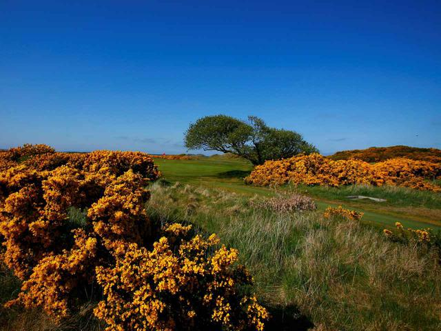 画像: スコットランド、セントアンドリュースのフェスキューとハリエニシダ