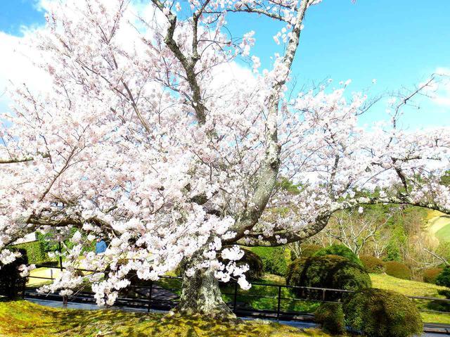 画像: 10番ホールの桜