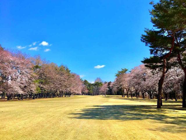 画像: 7番ホール/426㍎/パー4 35本の桜並木、桜に当てないよう注意