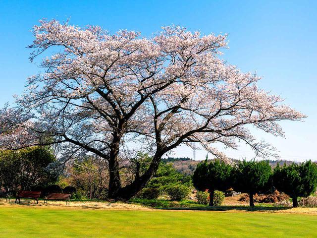 画像: 武蔵野ゴルフクラブ 古桜の下にベンチが二脚