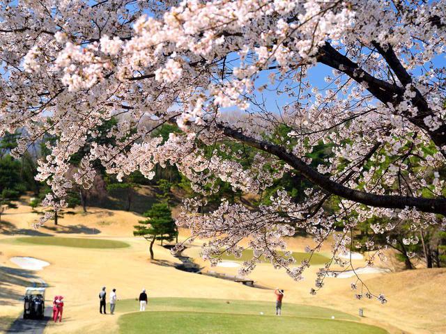 画像: こだまゴルフクラブのソメイヨシノ