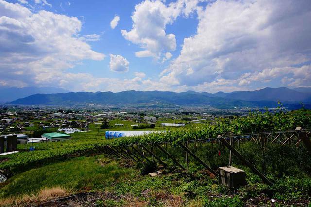 画像: 丘に広がる「ぶどう棚」はおなじみの光景だが、実はこの栽培法、雨の多い日本独自のもの。地面からぶどうを離すことで風通しを良くし、地面の水分を果実が吸いすぎない。