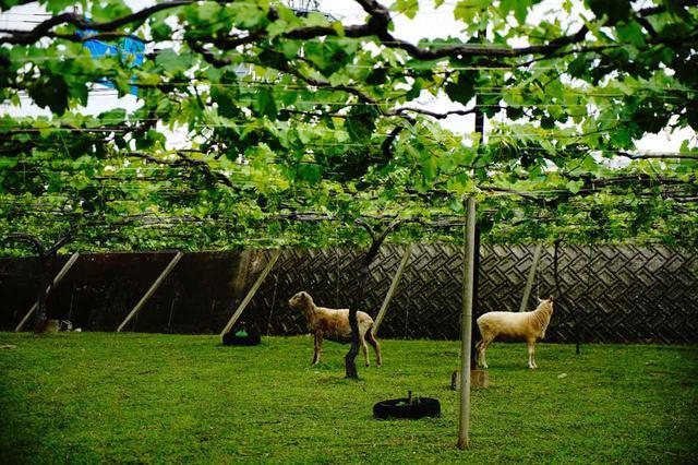 画像: 現存する日本最古のワイナリー「まるき葡萄酒」のぶどう畑。ヤギが地面の草を食べることで雑草が取り除かれ、風通しの確保に貢献している。