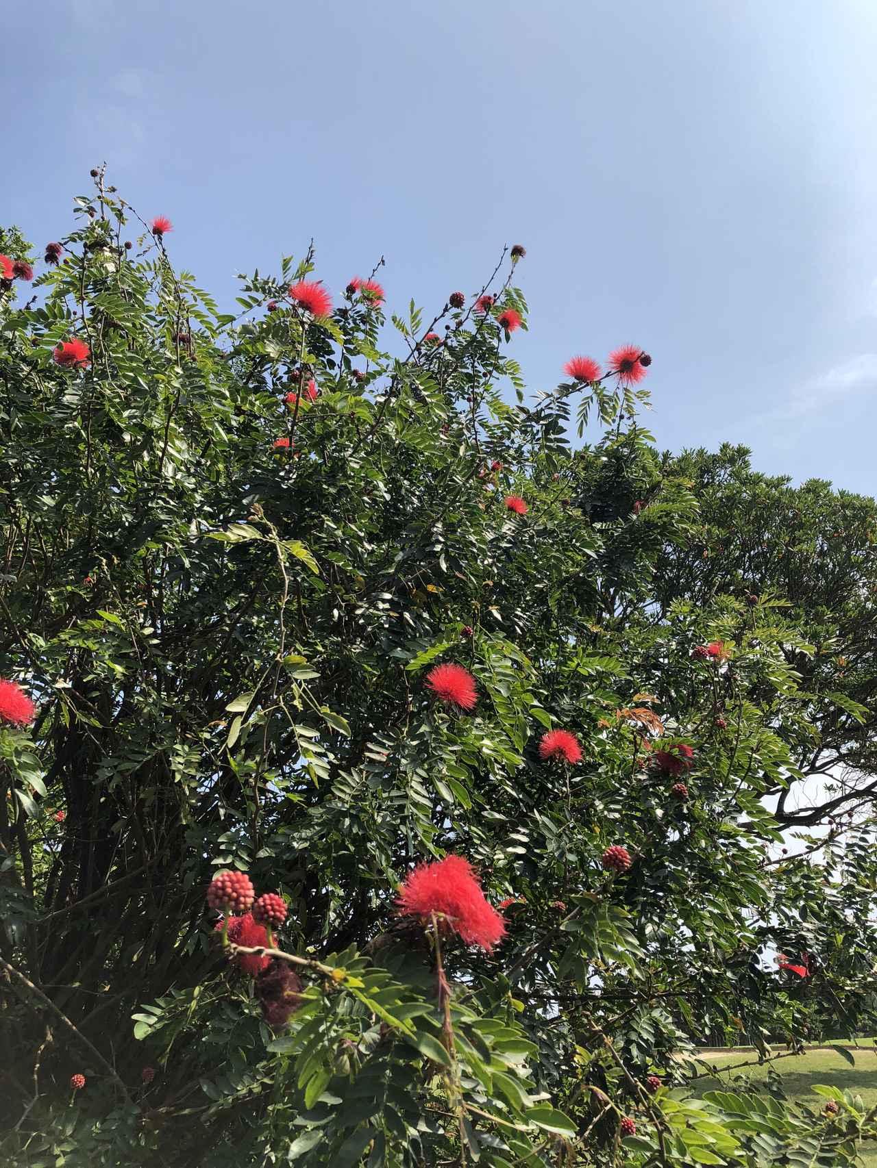 画像: 沖縄の象徴 デイゴの花