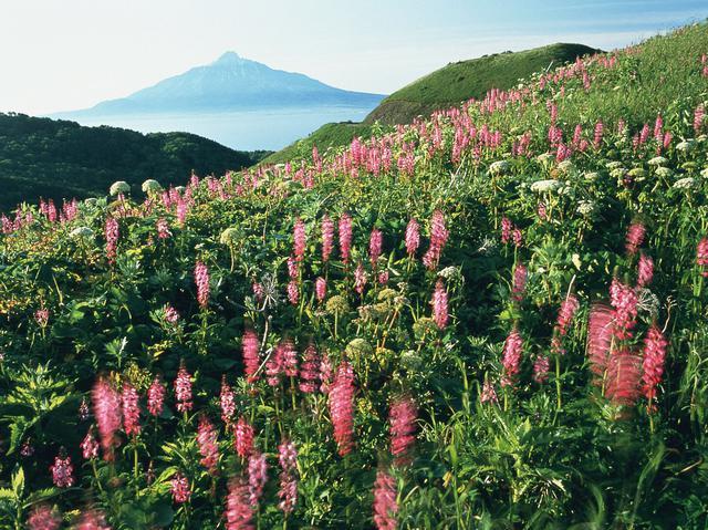 画像: レブンシオガマと利尻山