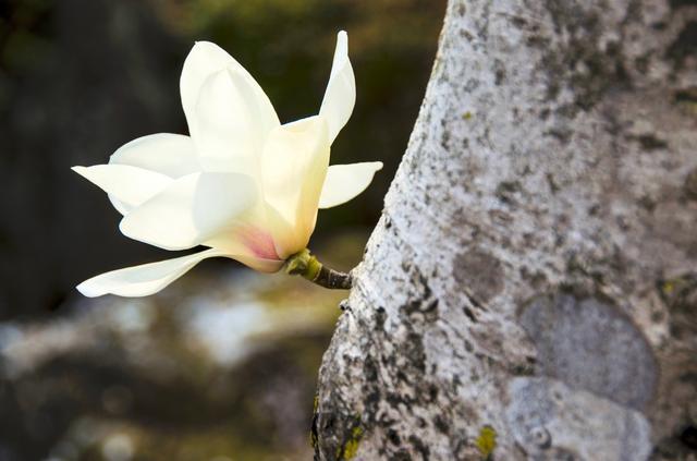 画像: ハクモクレンの木と花
