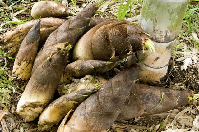 画像: 4. 掘りたてが絶品の「タケノコの丸焼き」