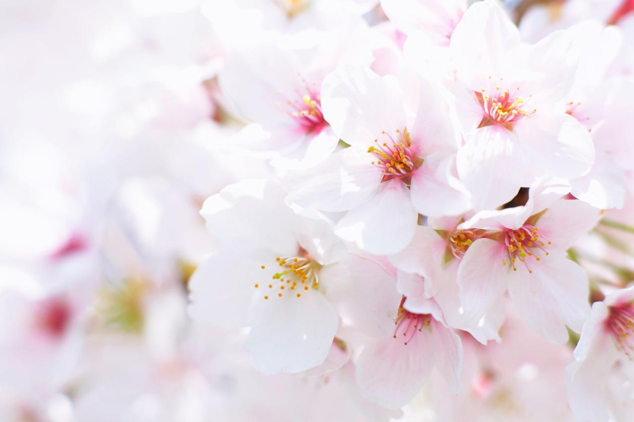 画像: 【花の名山⑤】「群馬・妙義山」登山に少し慣れてきた人に最適のスポット ヤエベニシダレや珍しいヨウキヒなど5,000本の桜が咲く