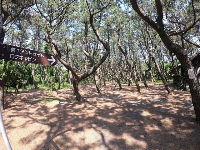 画像: 松林の中にある第1テントサイト:著者撮影