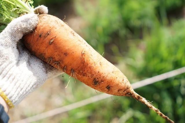 画像: 筆者撮影:前回の取材時に収穫したニンジン