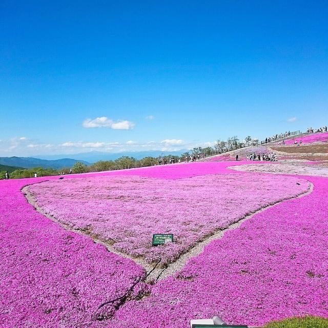 画像: snapmart.jp 茶臼山芝桜イメージ