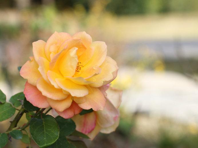 画像: 世界中の名だたる品種のバラをほぼ網羅しているという花フェスタ記念公園
