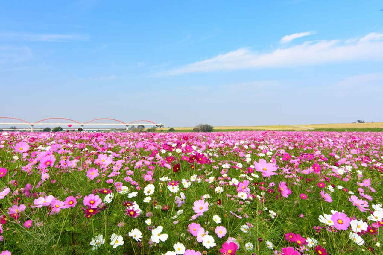 画像: 約6万3000平方メートルの広大な敷地に、色とりどりのコスモスが咲き誇る