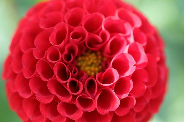 画像: 花径5~7cmの真っ赤な花がポンポン咲く「アリス」も人気の品種