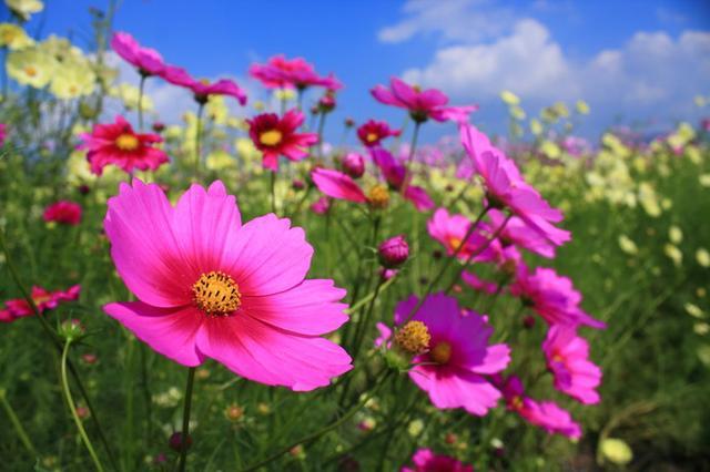 画像: 今年開園20周年を迎える「夢コスモス園」は9月21日~10月27日に開園、記念イベントも