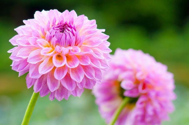 画像: 1万5000平方メートルの敷地に4000株のダリアが咲き誇る「町田ダリア園」
