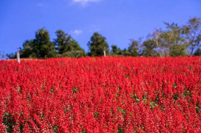 画像: 約30万本のサルビアが一面に咲く景色は、マザー牧場の秋の風物詩