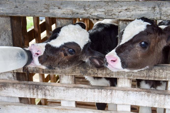 画像: 一生懸命ミルクを飲むかわいい仔牛たち!(画像はイメージです)