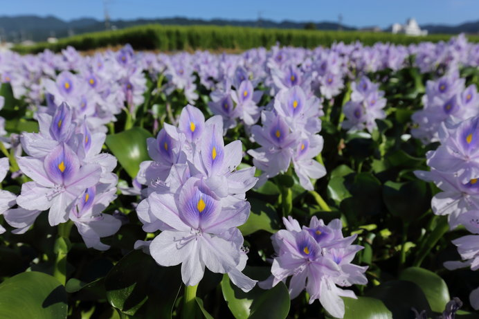 画像: 膨らんだ茎が七福神の布袋様のお腹に似ていることから「ホテイアオイ」という名がついたそう