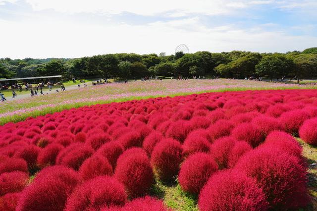 画像: 「みはらしの丘」を鮮やかな緑色に彩っていたコキアは、9月下旬から徐々に赤く変化する