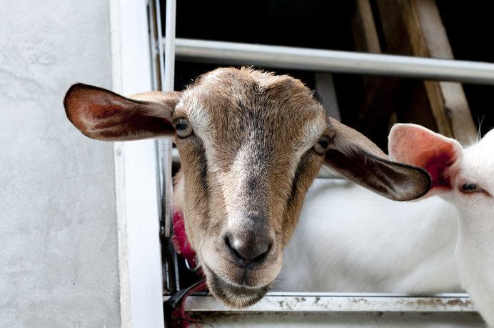 画像: 東京でヤギとふれあうなんて素敵ですね!(画像はイメージです)