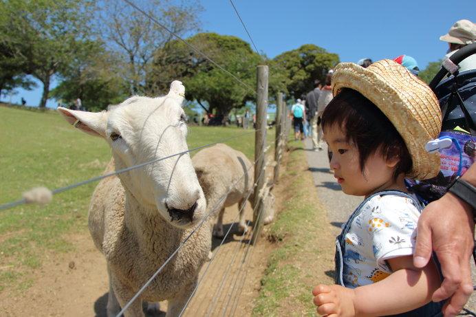 画像: 人懐っこさ全開の羊(画像はイメージ)