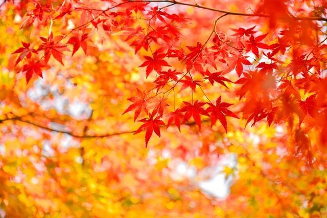 画像: 紅葉といえば、モミジです!