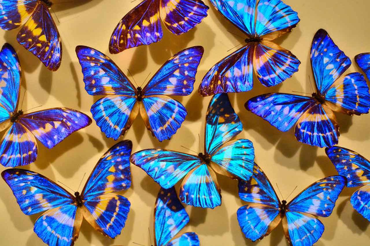 画像: 展示されている世界の蝶の標本約1万4000頭の中には、希少種や世界最大・最小の蝶も※画像はイメージ