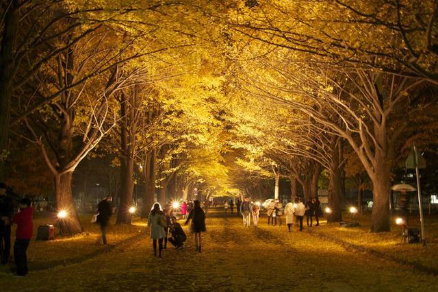 画像3: 国立大学なのに観光名所!?北大のイチョウ並木が金色に輝く!!