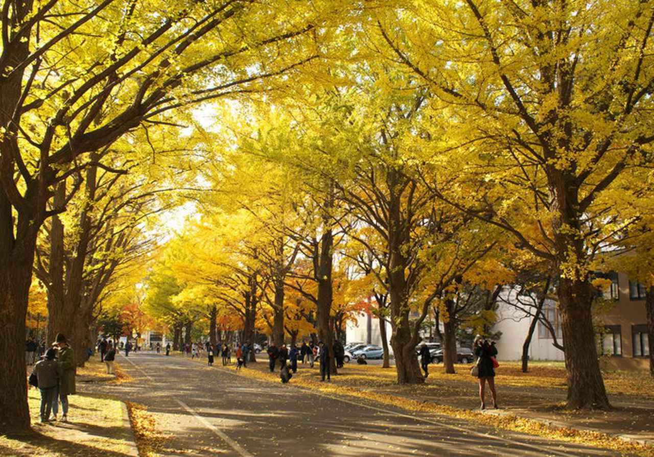 画像1: 国立大学なのに観光名所!?北大のイチョウ並木が金色に輝く!!
