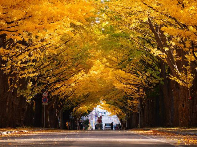 画像2: 国立大学なのに観光名所!?北大のイチョウ並木が金色に輝く!!