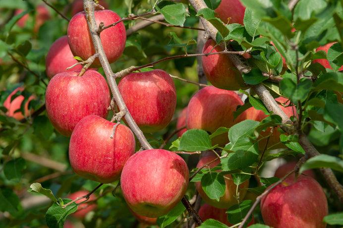 画像: 目にも鮮やかな赤いりんご(画像はイメージ)