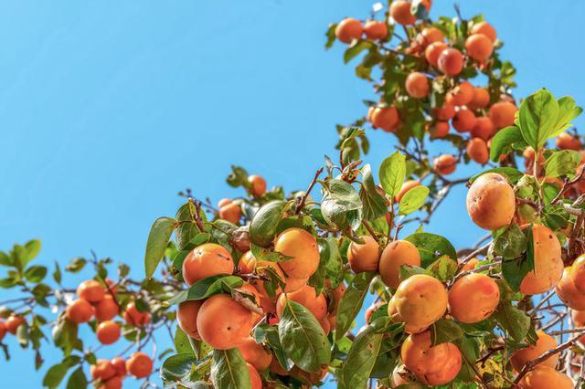 画像: 晴れた青空に映える鮮やかな柿の実(画像はイメージ)
