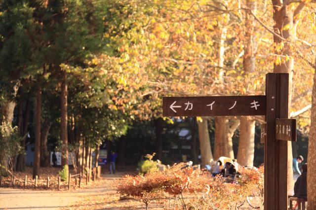 画像: 外国産樹木カイノキ