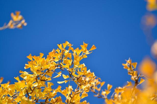 画像: 紅葉といえば……銀杏やいろはもみじが思い浮かびますね
