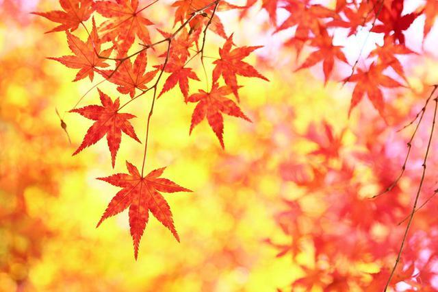 画像: モミジが色鮮やかな季節となりました!