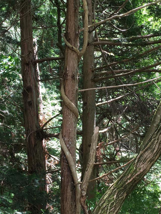 画像: 筆者撮影 太い蔓(つる)が巻きついた木