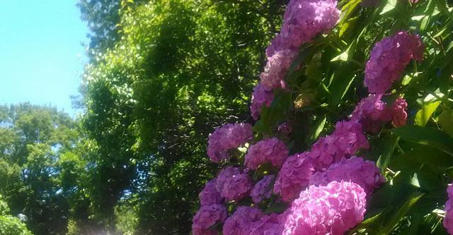 画像: 筆者撮影「6月ごろにはアジサイが咲きます」