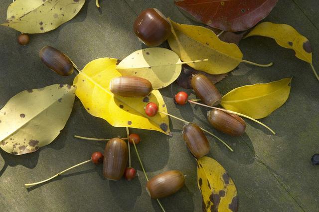 画像1: (1) 落ち葉・ドングリ・まつぼっくりを拾う