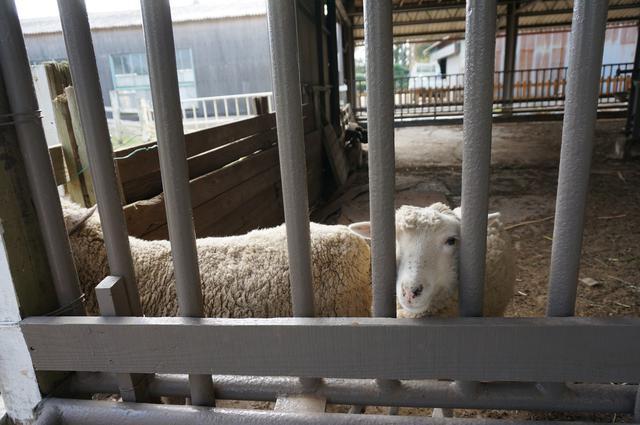 画像: 筆者撮影「ヒツジやヤギ、ウサギなどの動物と触れ合える」
