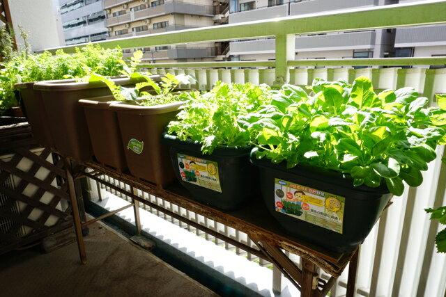 画像1: 【家庭菜園はプランターで簡単に】ベランダなどの狭いスペースでも野菜の育て方を習得してプランターで簡単菜園を楽しもう!