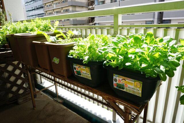 画像1: 【プランターで簡単家庭菜園】虫対策をして野菜作り&栽培キットに挑戦してみよう