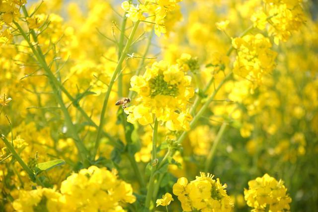 画像: 菜の花は春が旬の食材! 栄養価の高い緑黄色野菜でアクが少なく調理がラク!