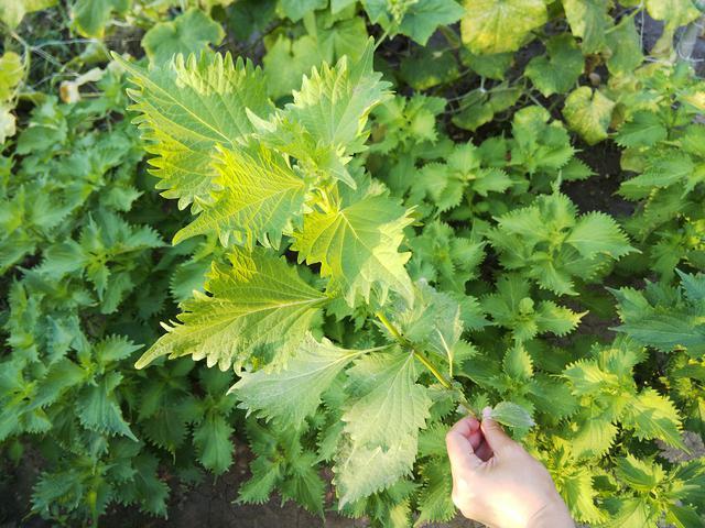 画像: 筆者撮影 茎ごと下の方を切って収穫