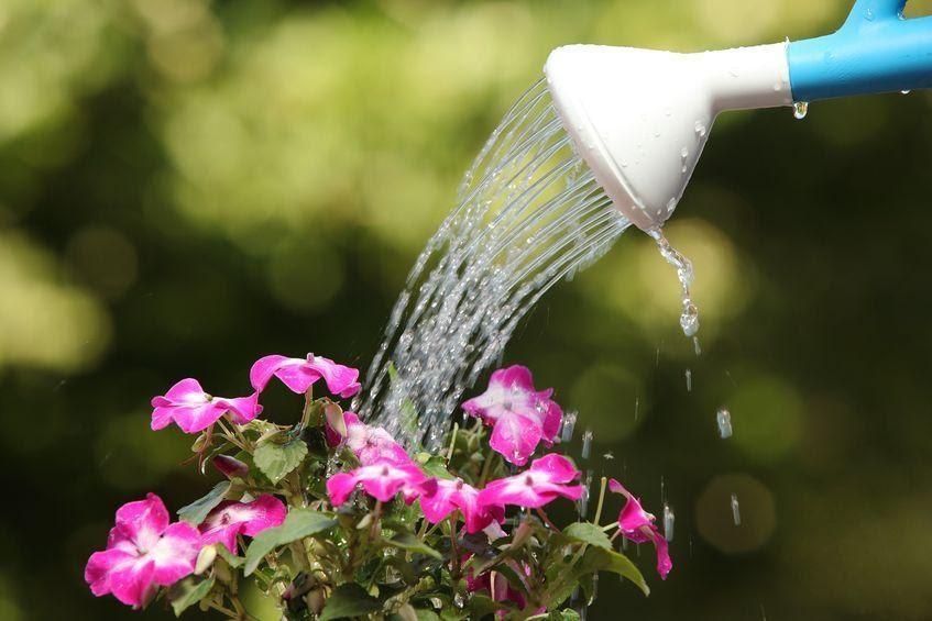 画像: 【唐辛子の栽培方法②】唐辛子は夏の水切れに注意! 土を乾燥させないように毎日の水やり必須