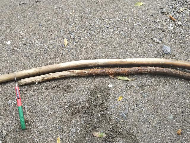 画像: 拾ってきた杉の木 (筆者撮影)