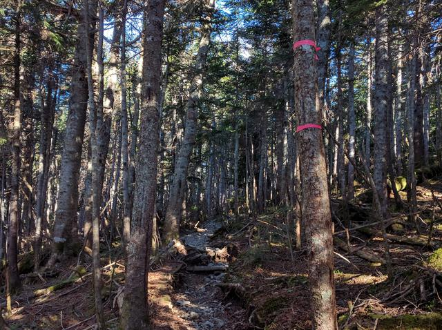 画像: 蝶ヶ岳へと登っていく道は針葉樹林に覆われている (筆者撮影)